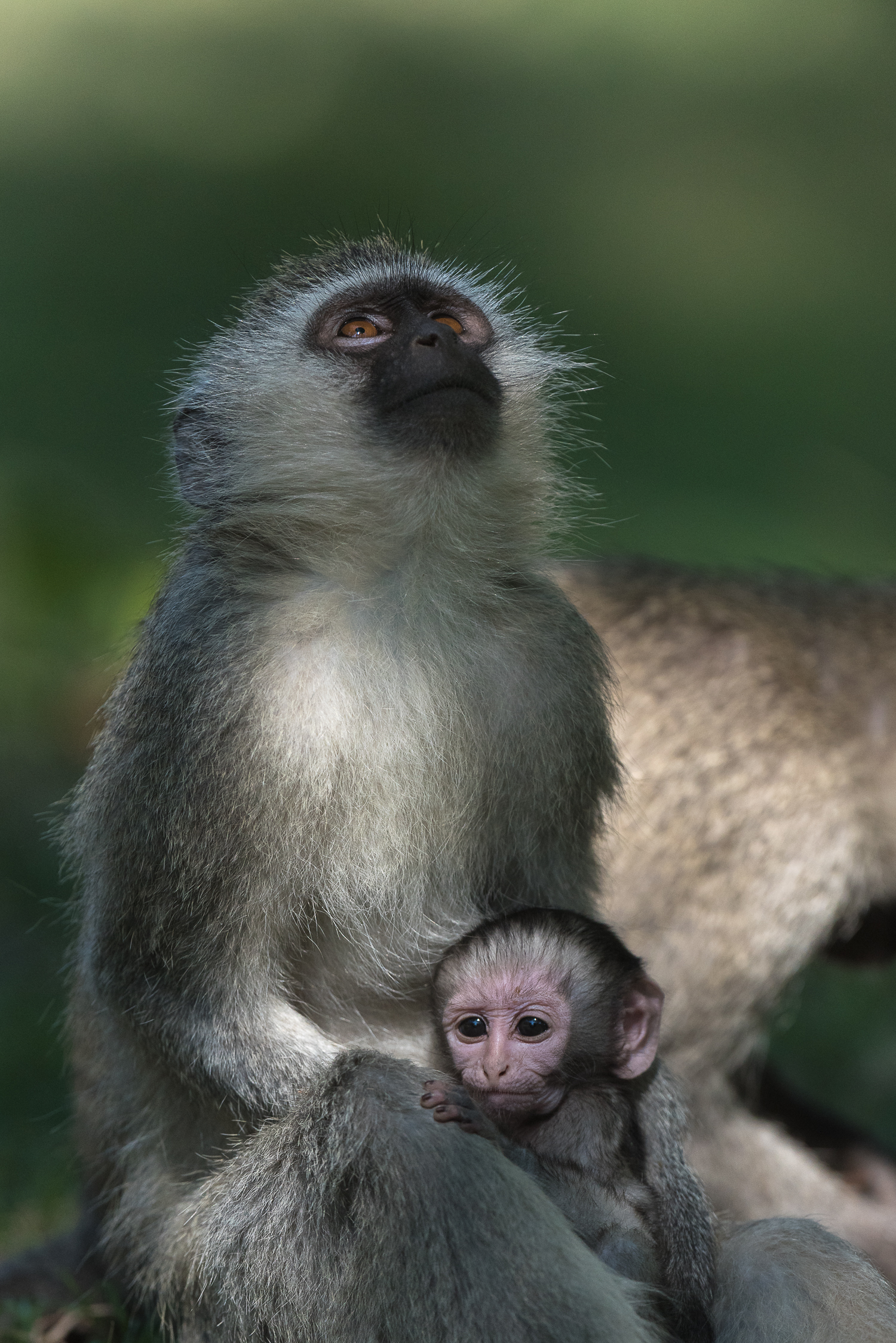 Giving thanks. A vervet monkey mother looks skyward a one of many newborns scans its unfamiliar surroundings.