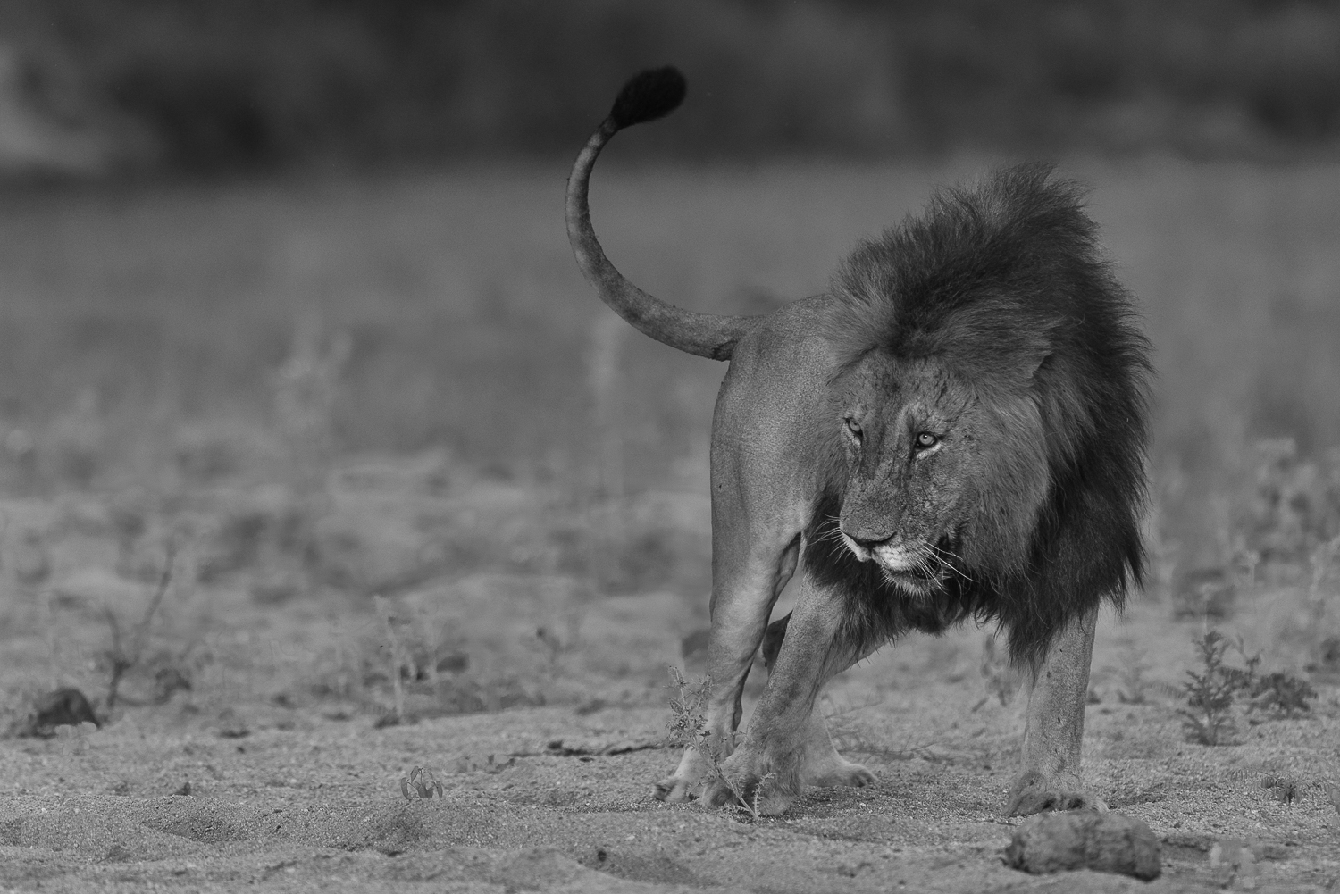 A hearty meal leaves just about renders a male lion useless, completely gorged sleep is priority number one. The dark mane Matimba a second before he flopped over and drifted off.