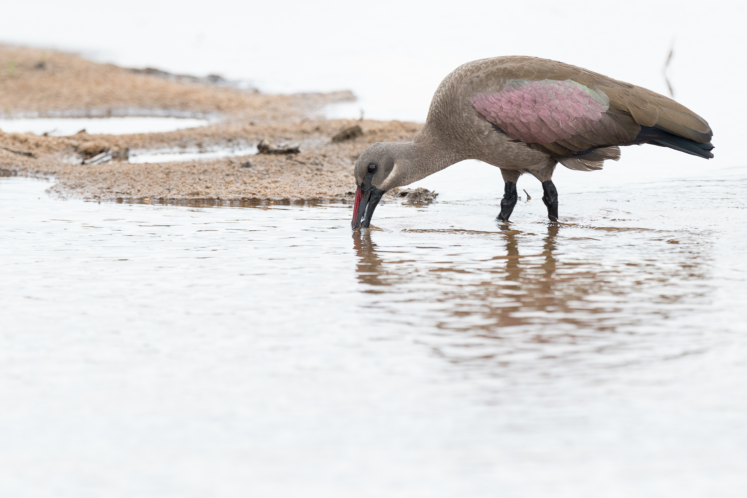 The often overlooked hadeda ibis sifts through the sand river in search of a meal.