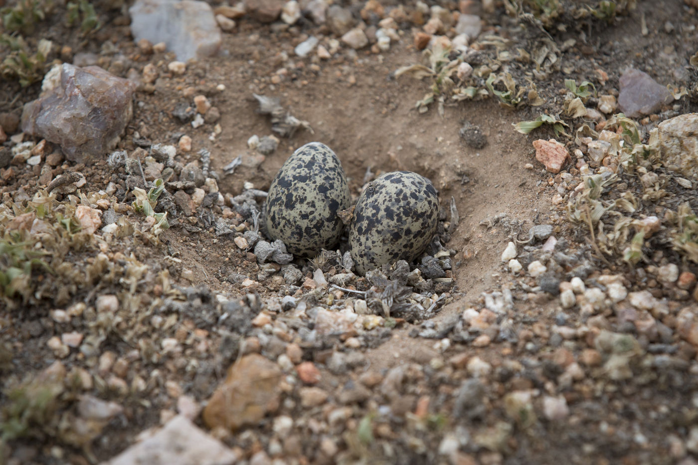 Lapwing Eggs