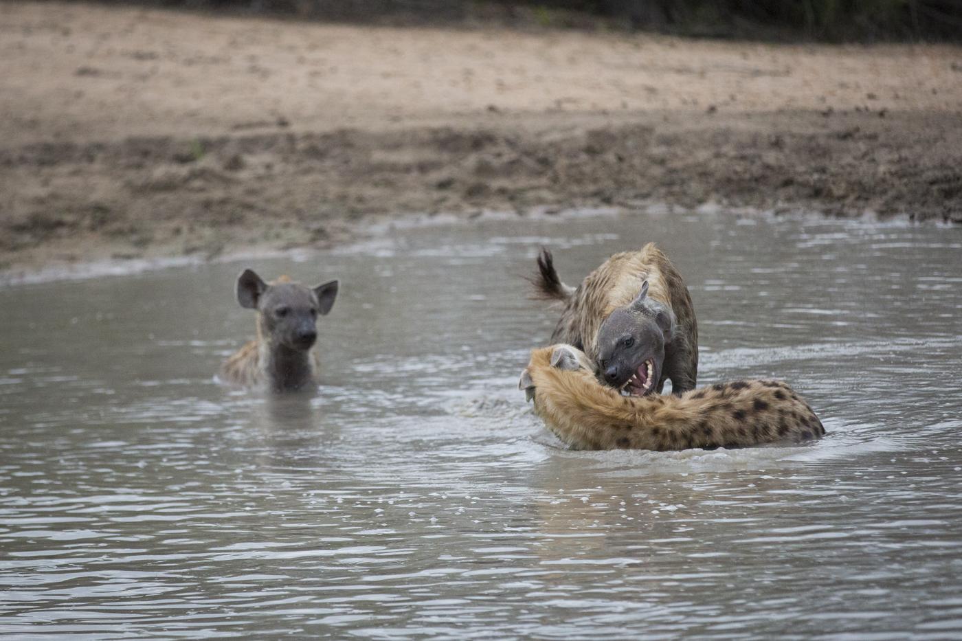 Hyena Water