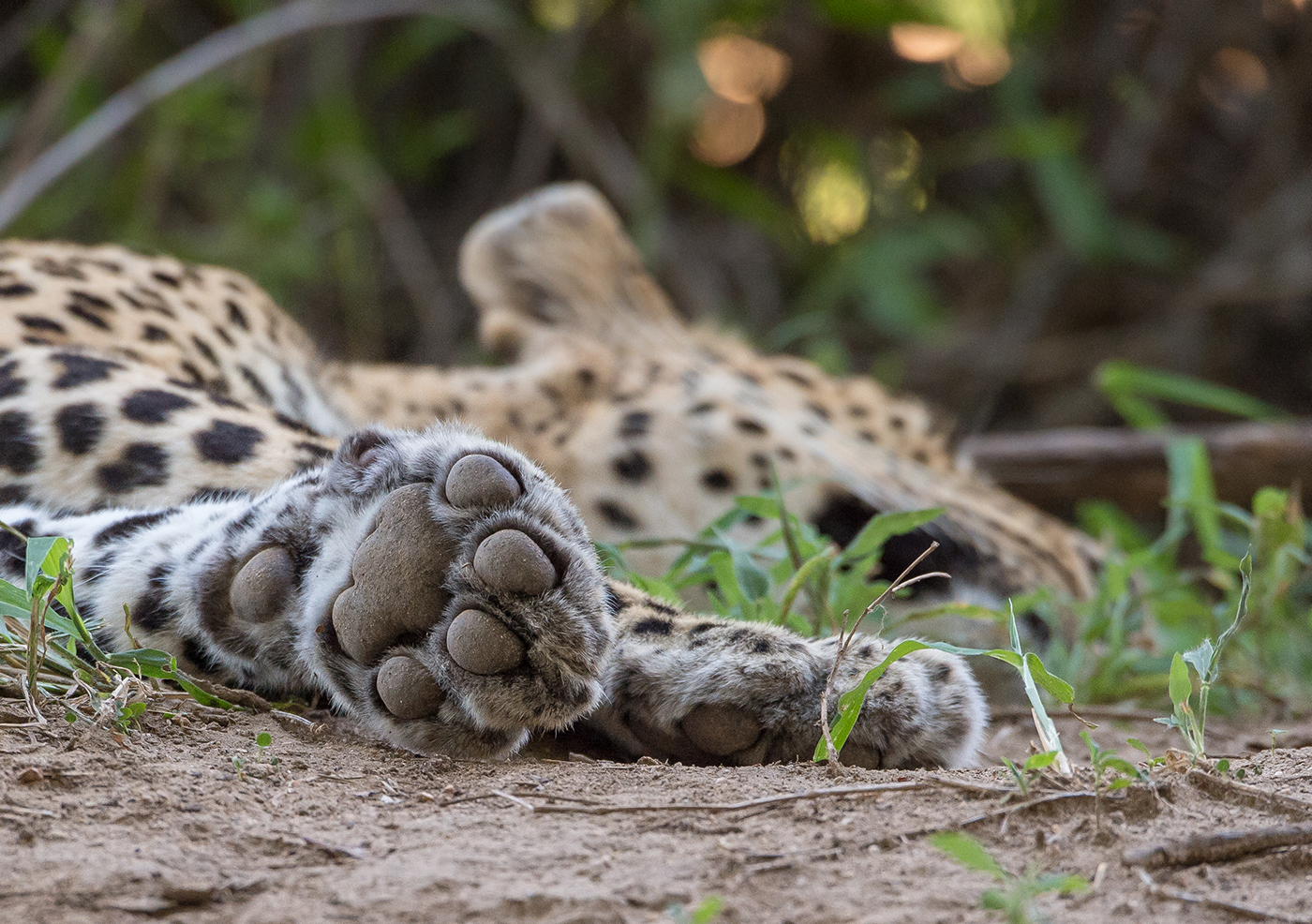 e149eb55ab15 tutlwa-1 - A close up of a leopard's paw, showing how the claws