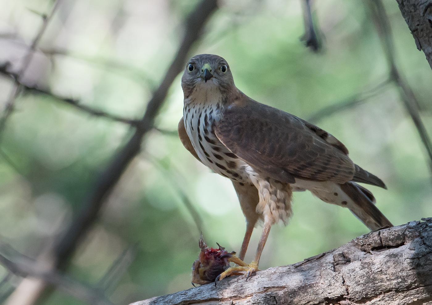 little sparrowhawk-1