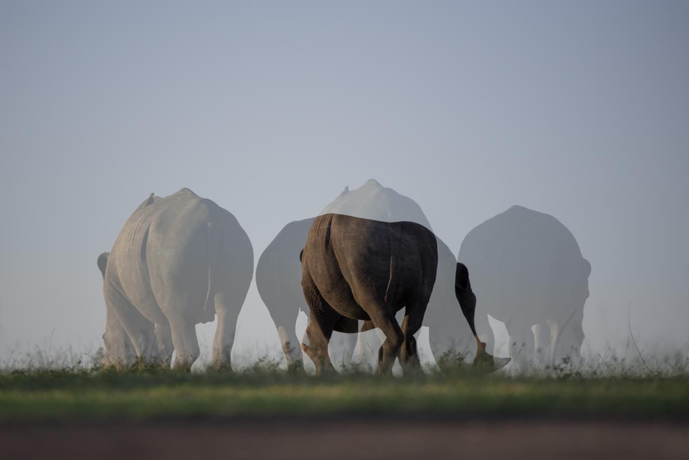 Mutliple Rhino