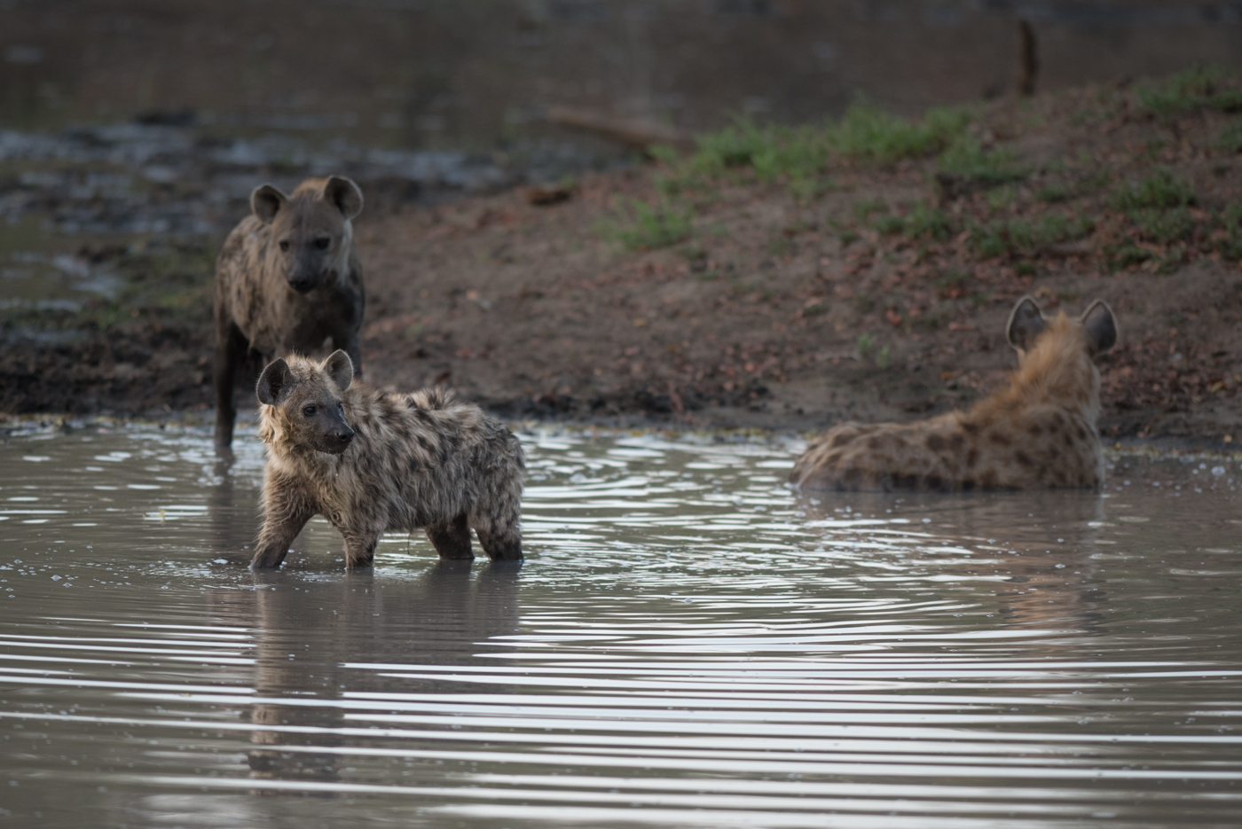 Hyena in the water
