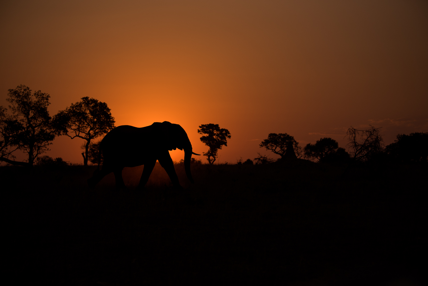 Elliphant in sunset