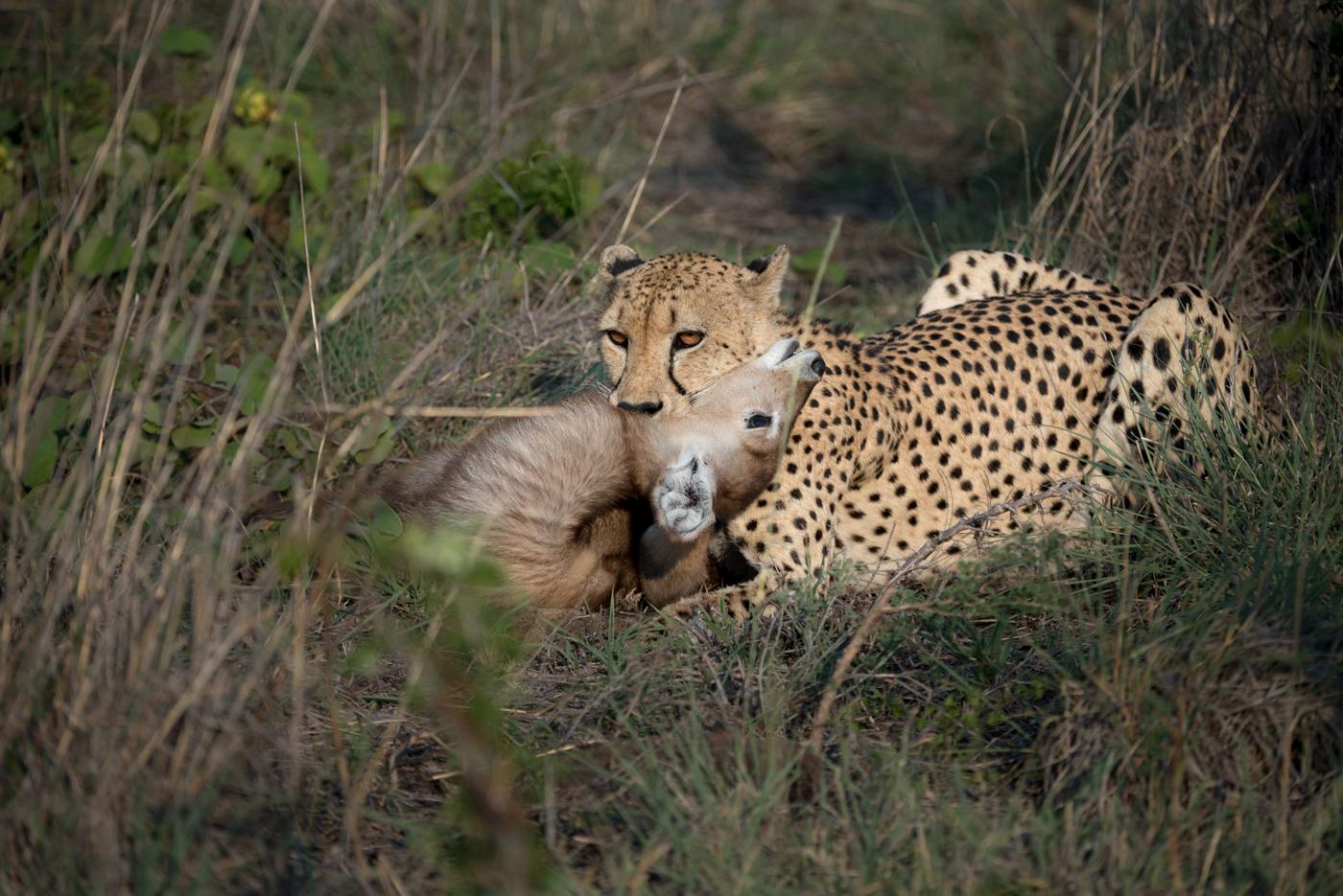 Cheetah and a week old waterbuck