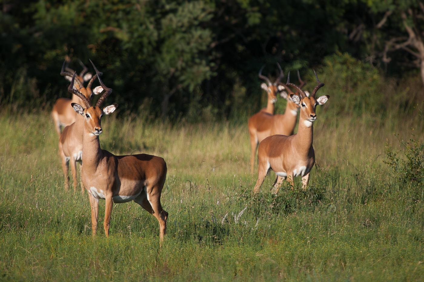 impalas in a row