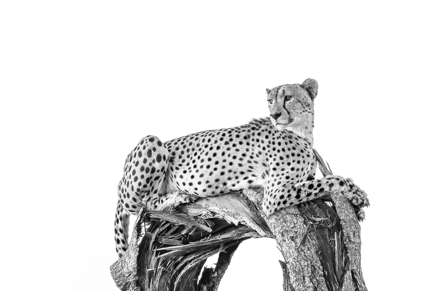 cheetah log
