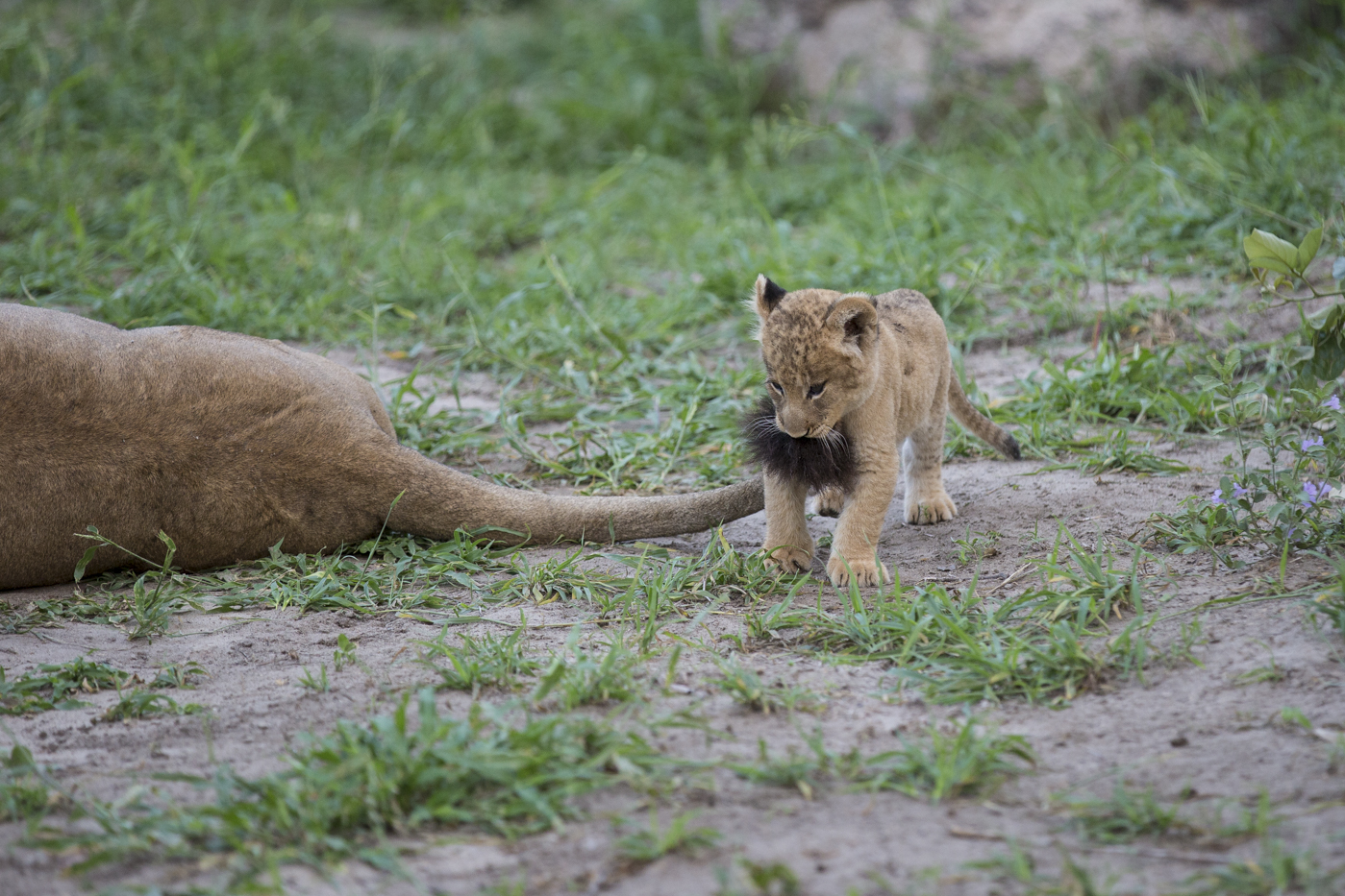 Lion Cub plays with tail