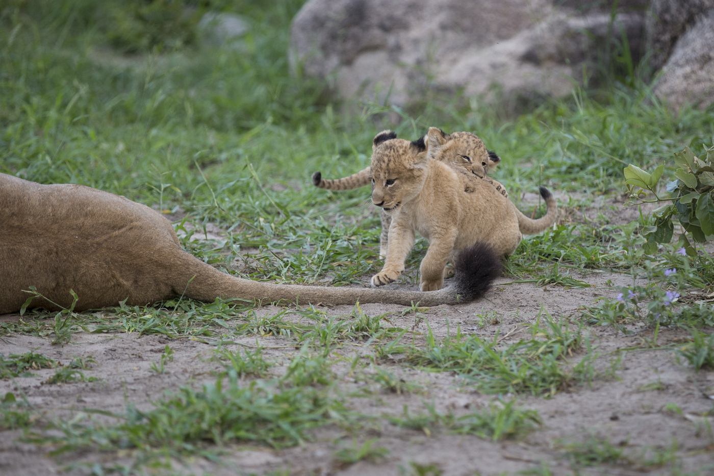 LIon Cubs Play