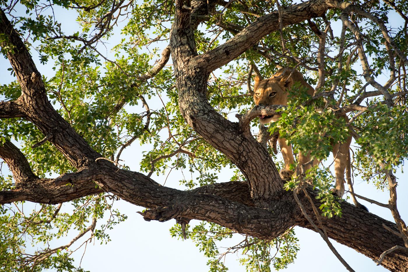 mhangeni lioness subadult in tree, feb 2016, SC