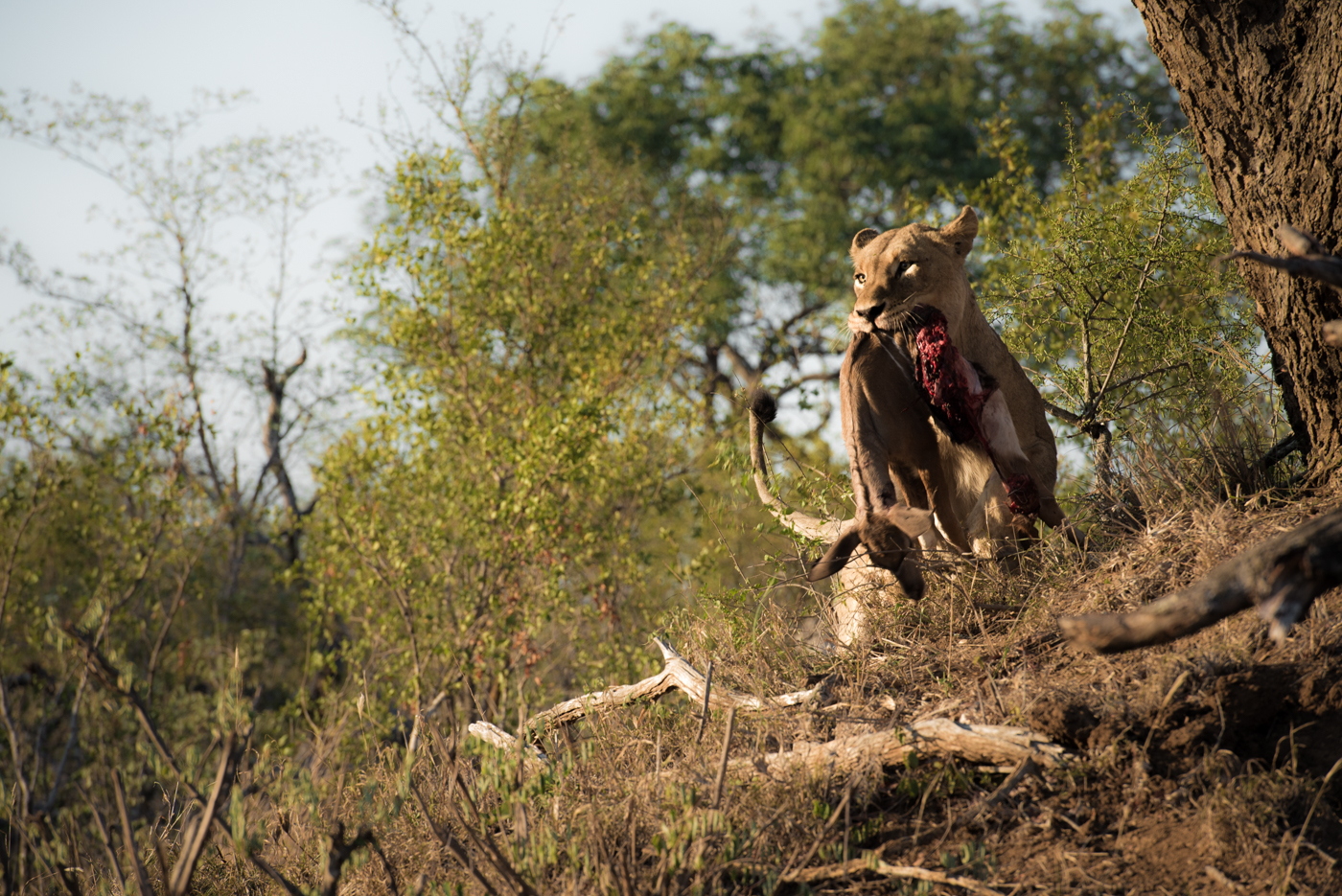 mhangeni lioness, feb 2016, SC