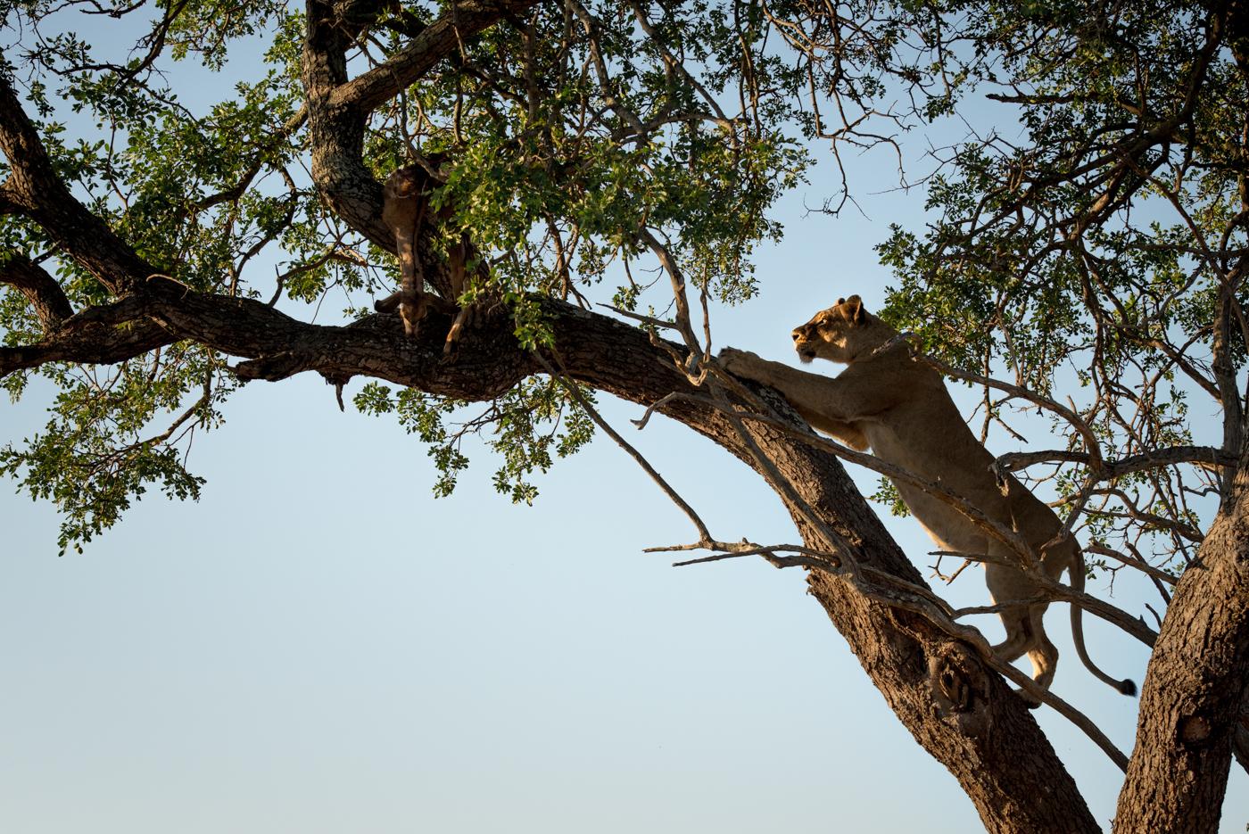 mhangeni lioness in tree, feb 2016, SC