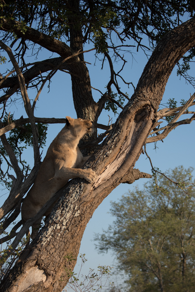 mhangeni lioness in tree, feb 2016, DH