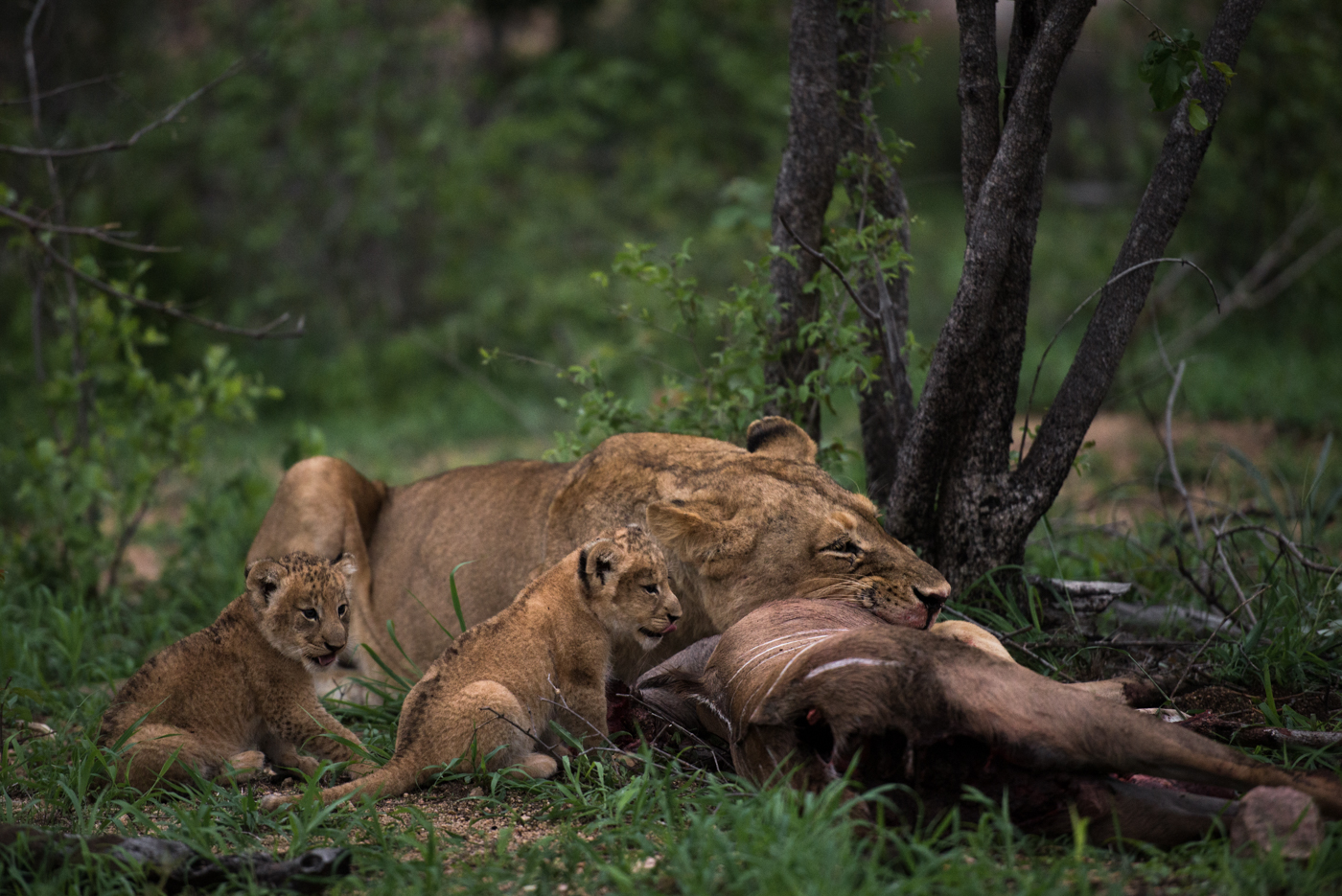 tsalala cubs feeding, march 2016, SC