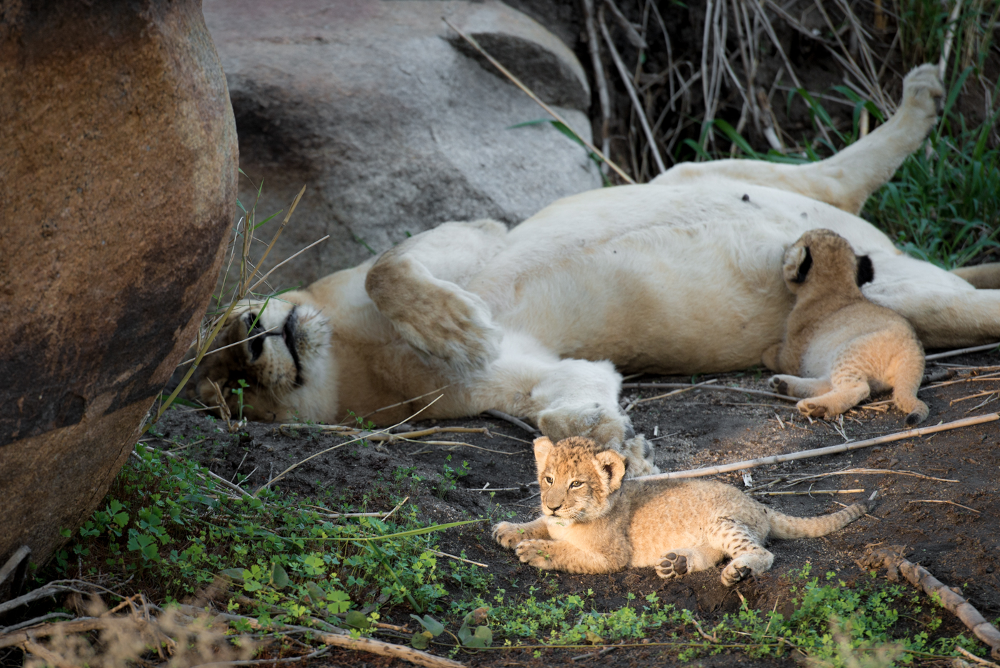 tsalala cubs, march 2016, SC