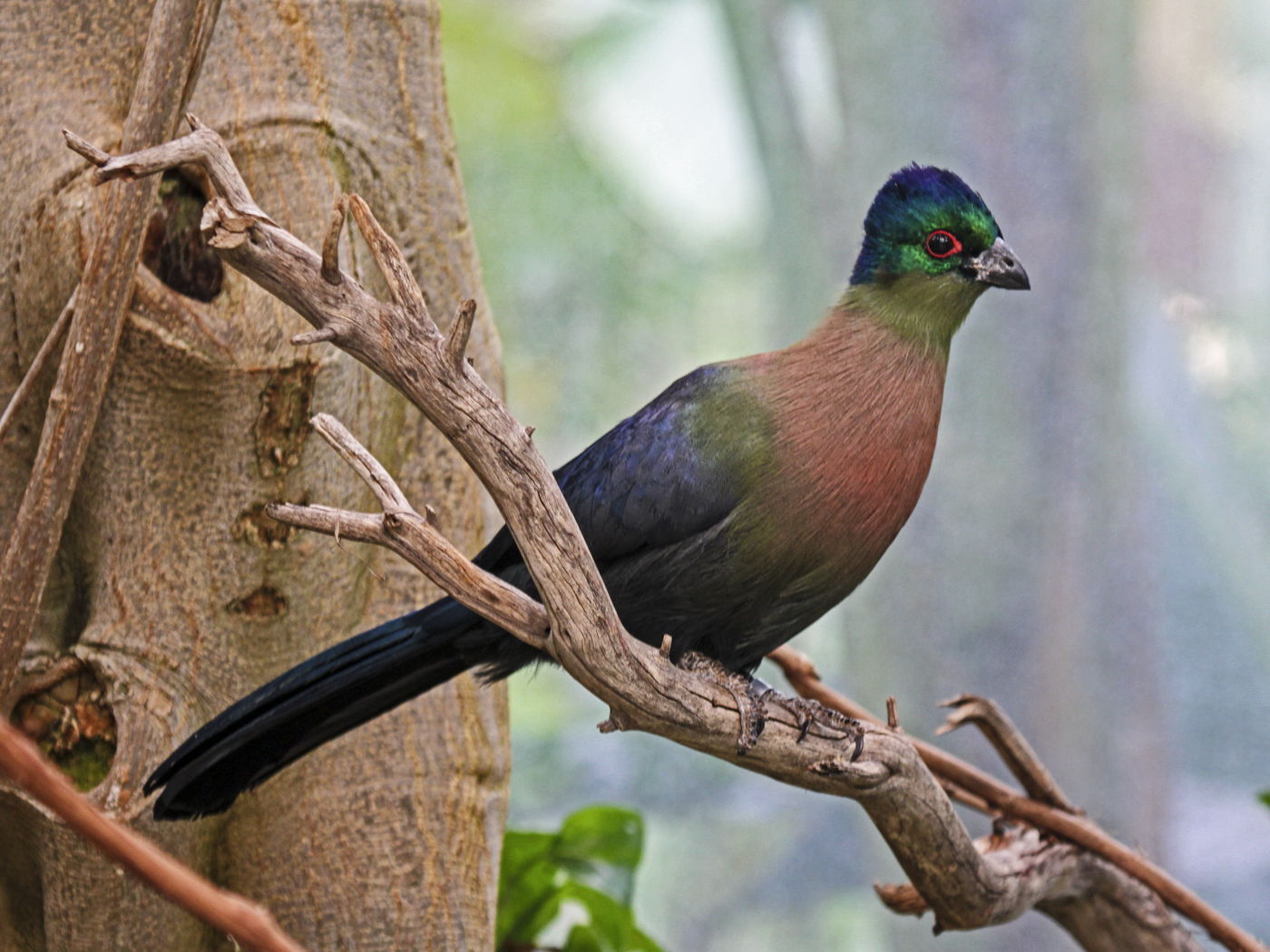 Purple-crested_Turaco_Richard Daniels