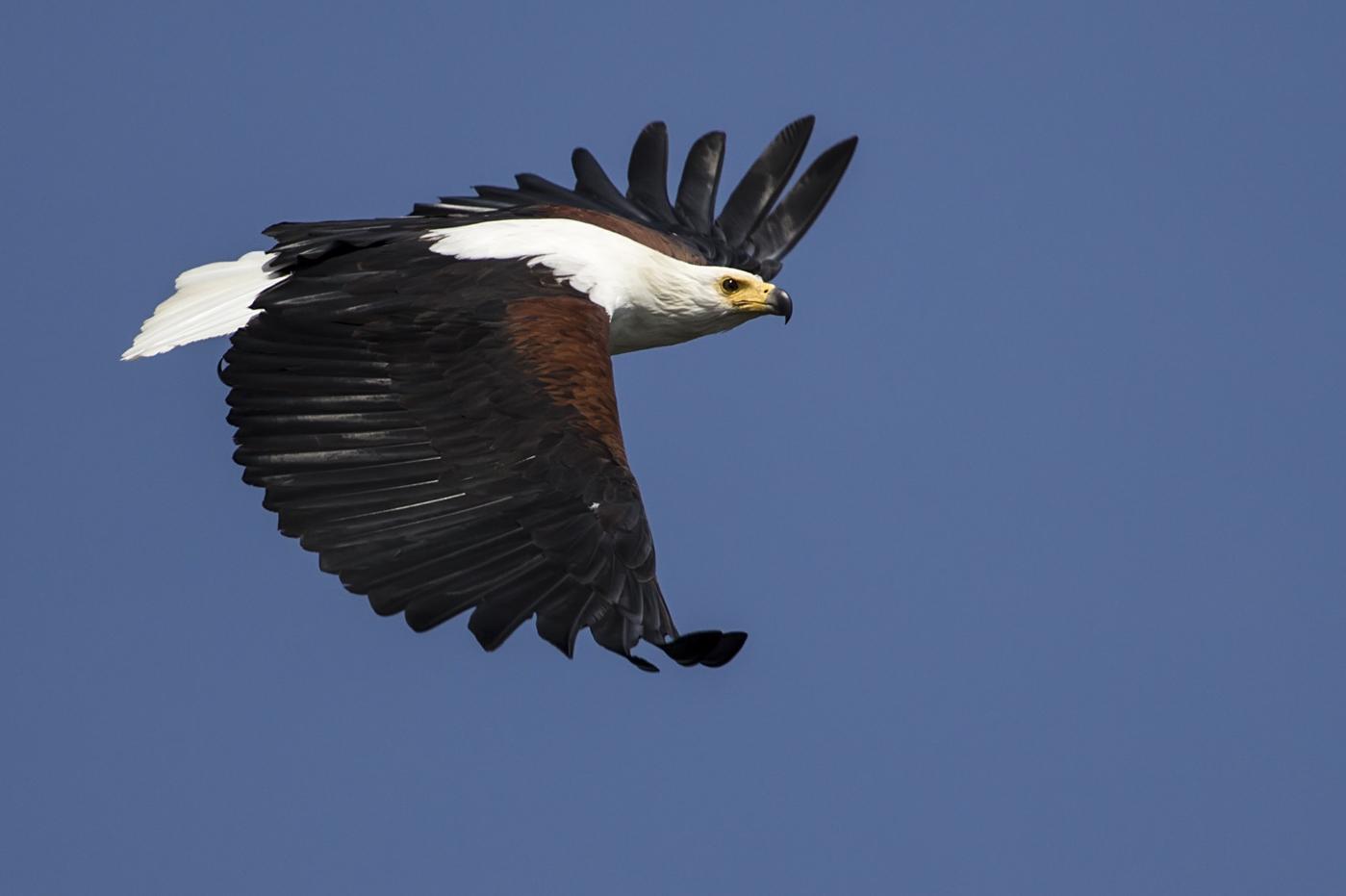 Fish Eagle Sumeet Moghe
