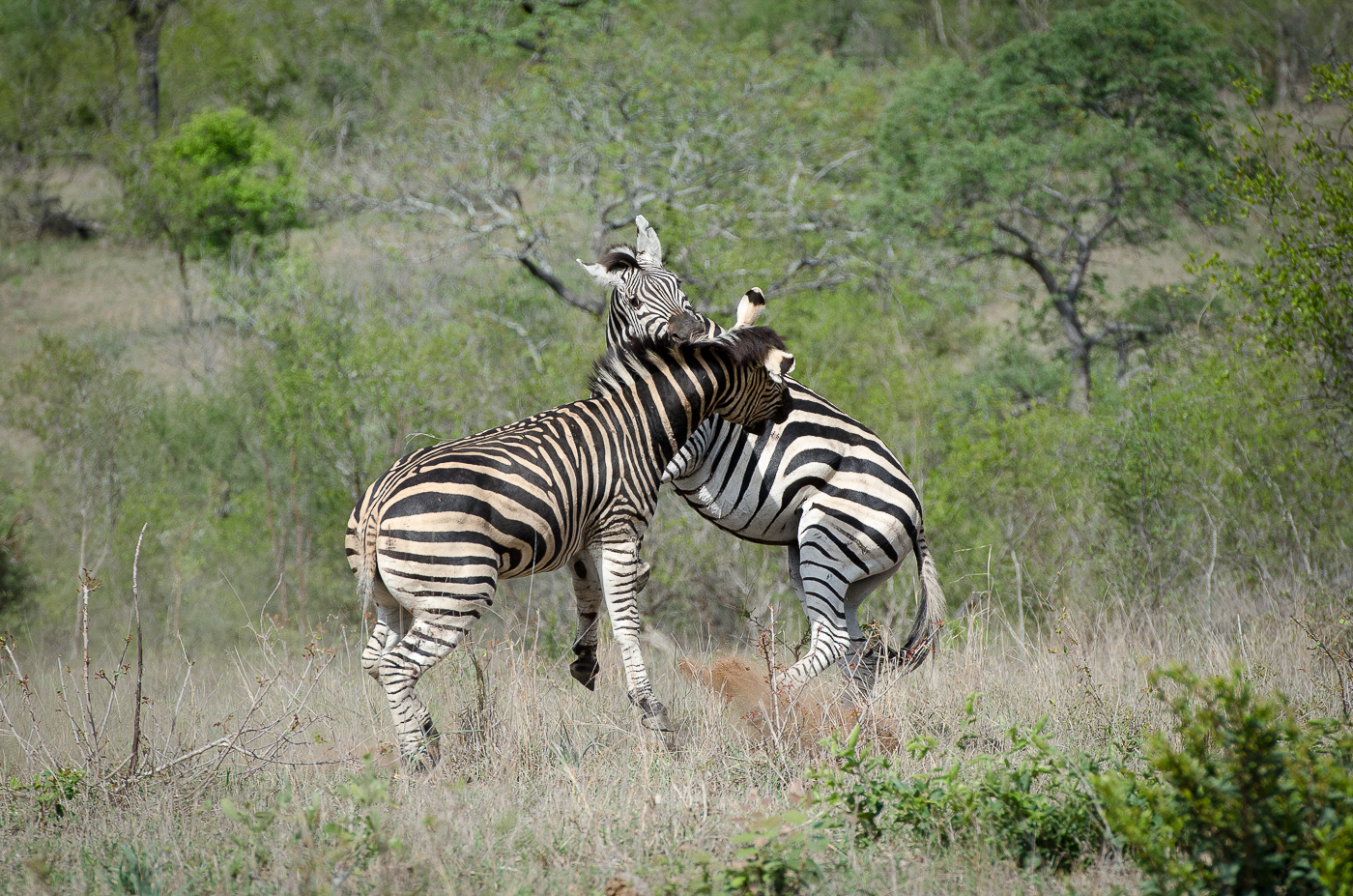 Zebra Fight-13