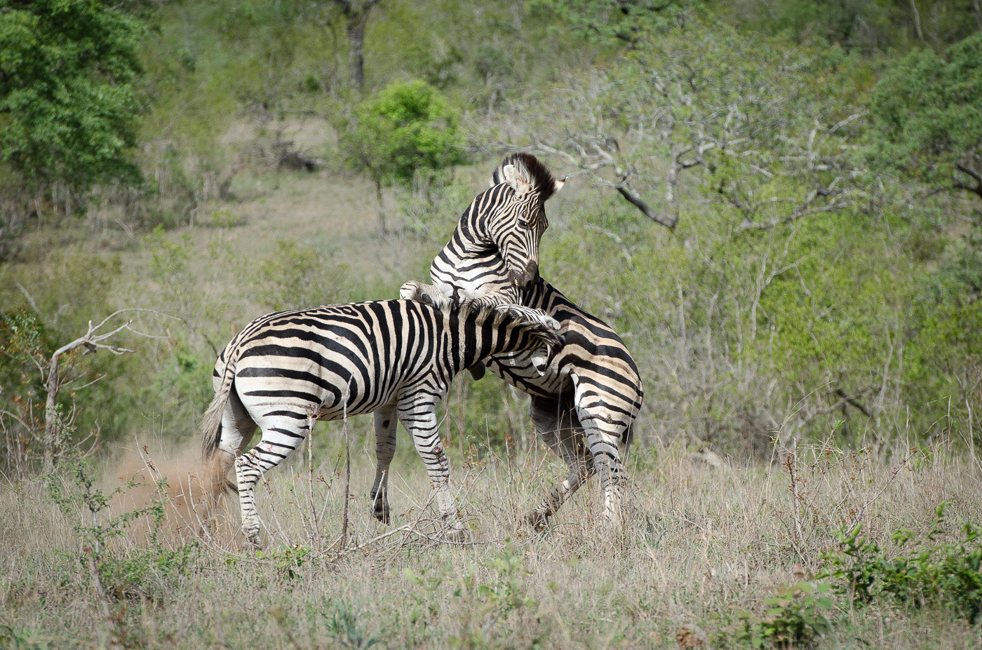 Zebra Fight-12