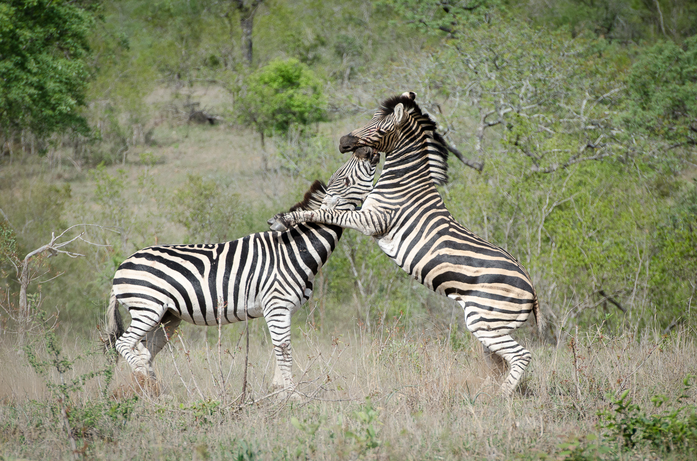 Zebra Fight-11