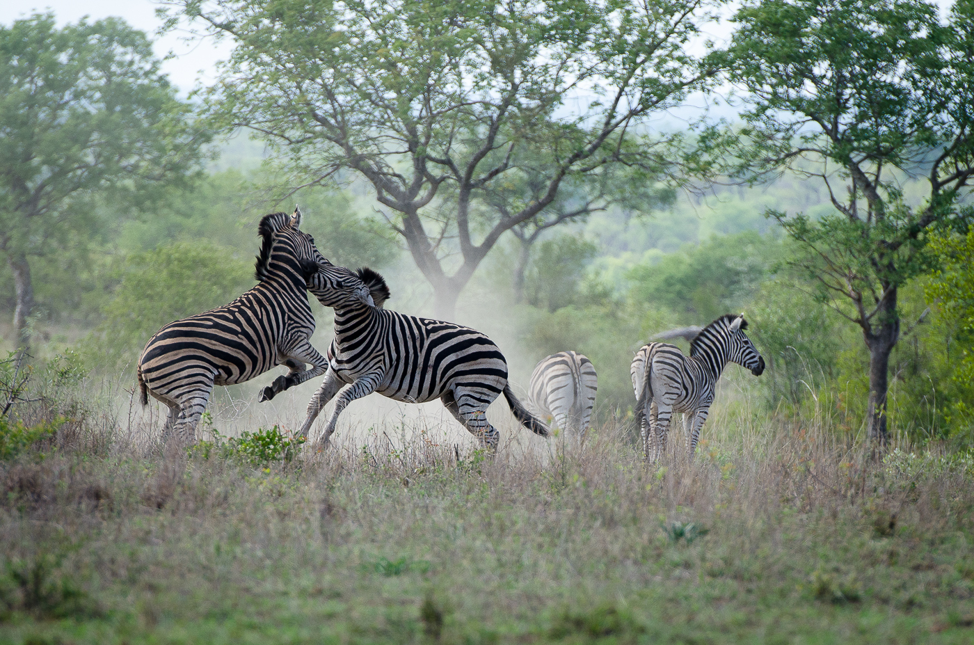 Zebra Fight-10