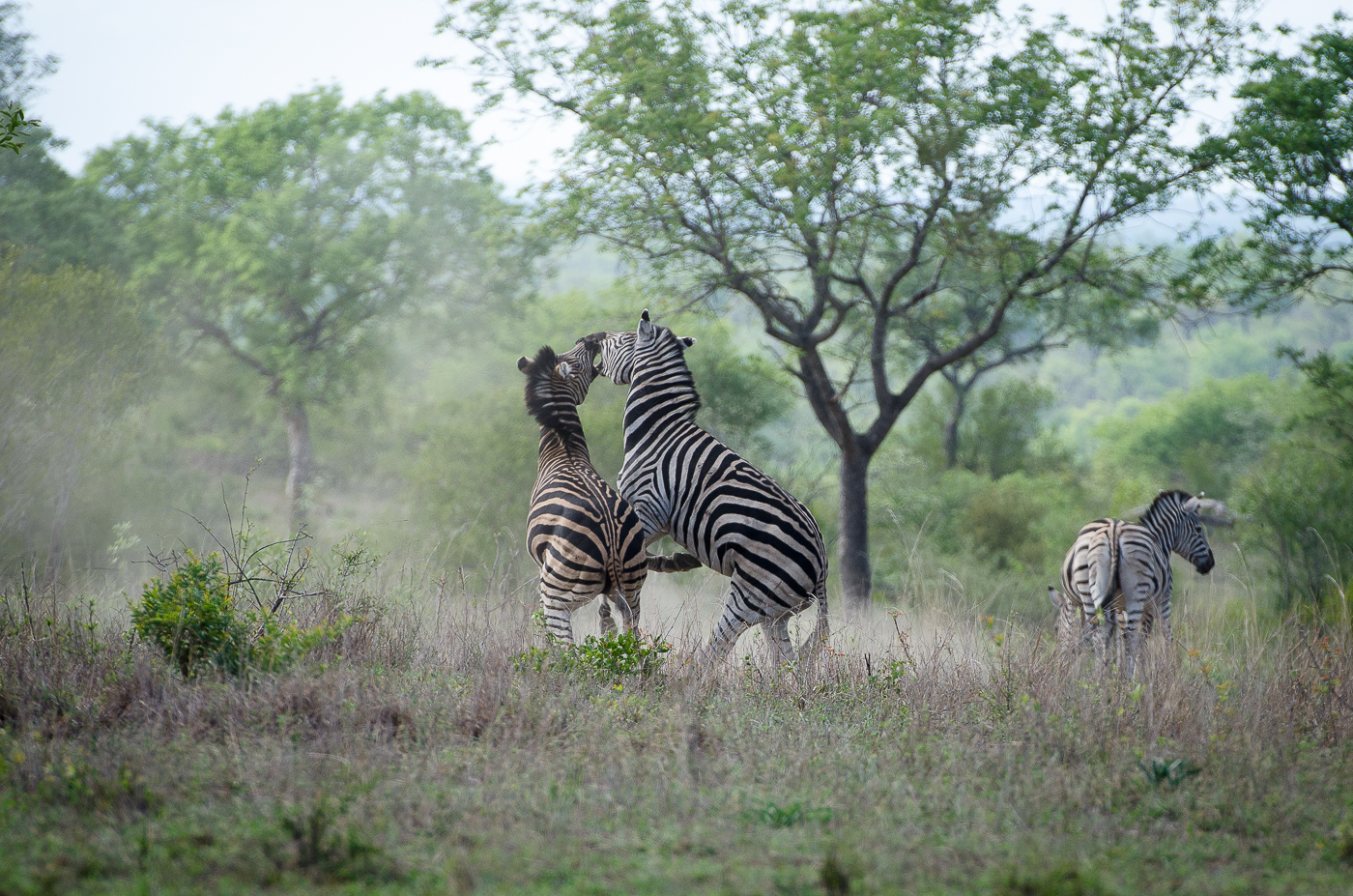 Zebra Fight-8