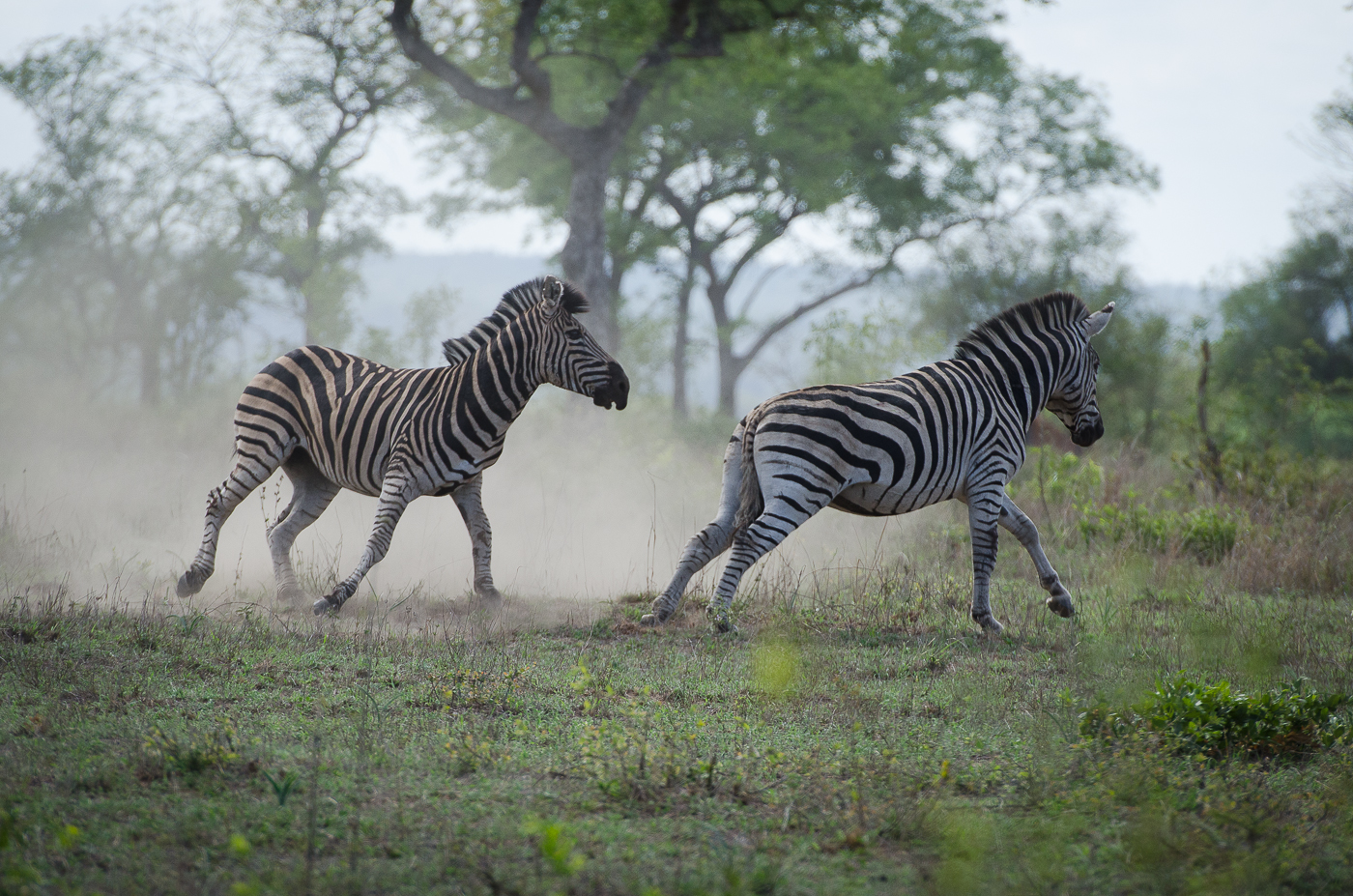 Zebra Fight-7