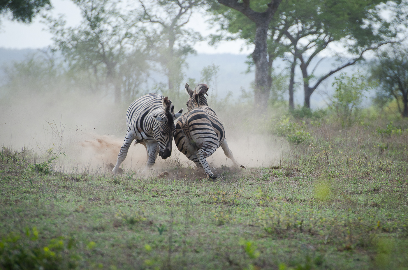 Zebra Fight-6