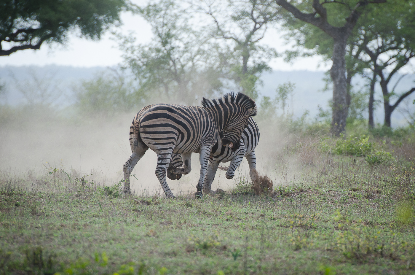 Zebra Fight-5