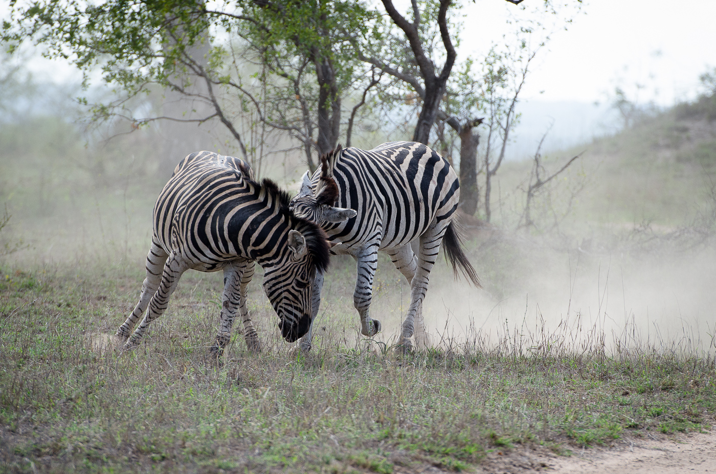 Zebra Fight-3