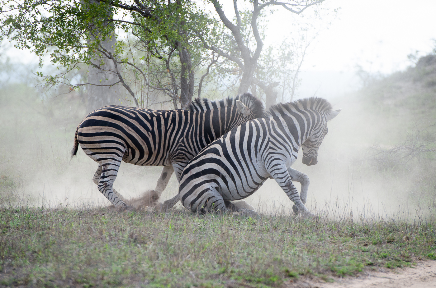 Zebra Fight-2