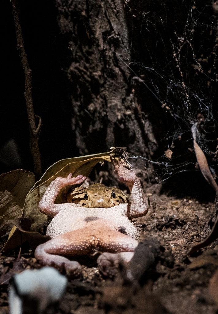 Spitting cobra eats frog
