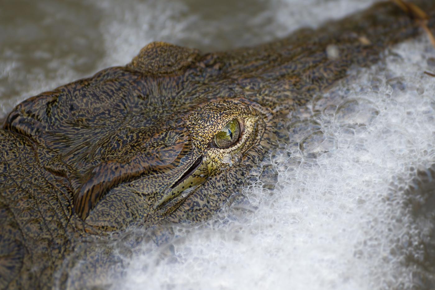 crocodile 223