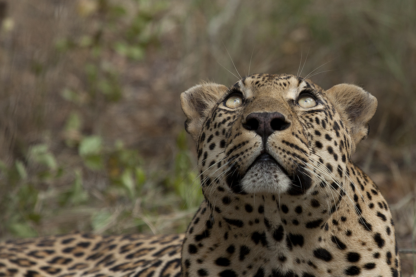 e5ce9b701e06 The Difference Between a Leopard and a Cheetah | Londolozi Blog
