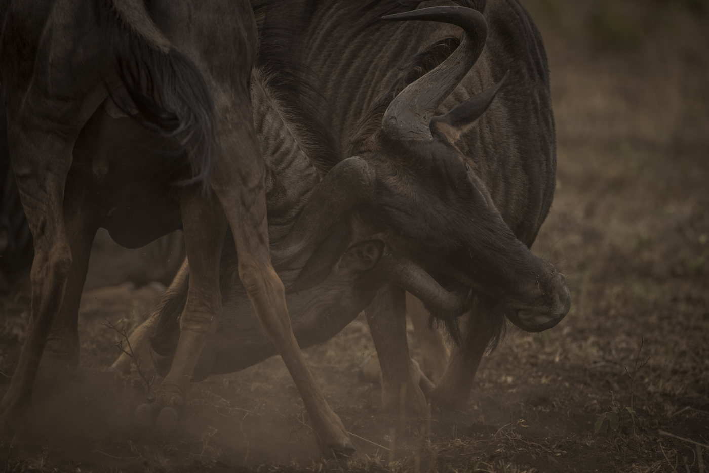 Two wildebeest bulls fight for prime territory which contains the crucial resources of food and water, which will bring with it herds of females that will pass through. Having this territory give will give one of them the opportunity to perpetuate their gene. (ISO 1600 f/5.6 at 1/800 sec)