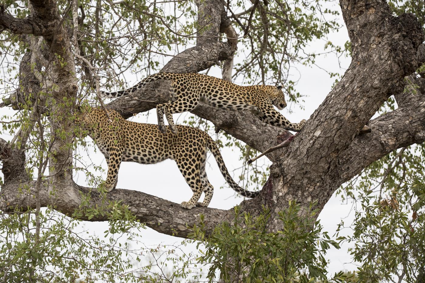 Mashaba Cub Kill Leap