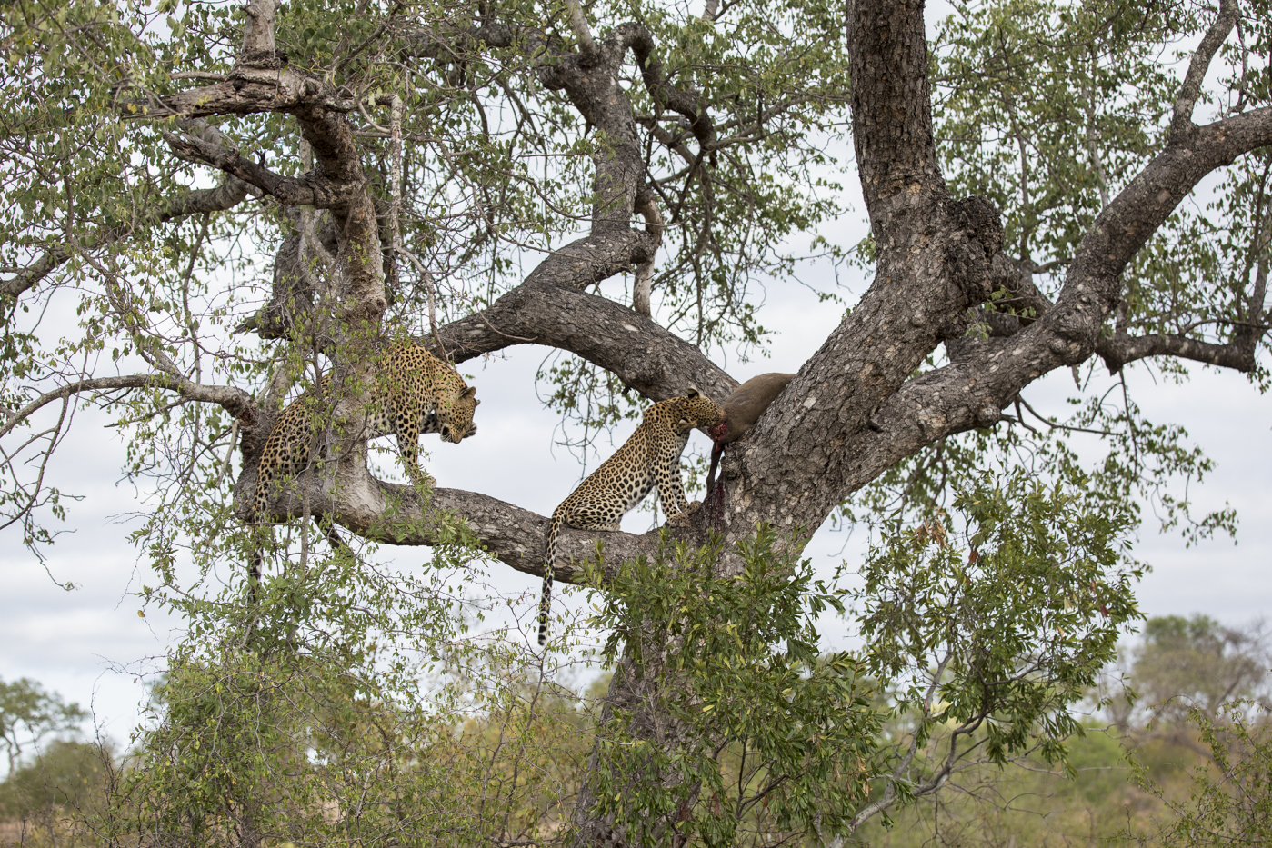 Mashaba Cub Kill Tree