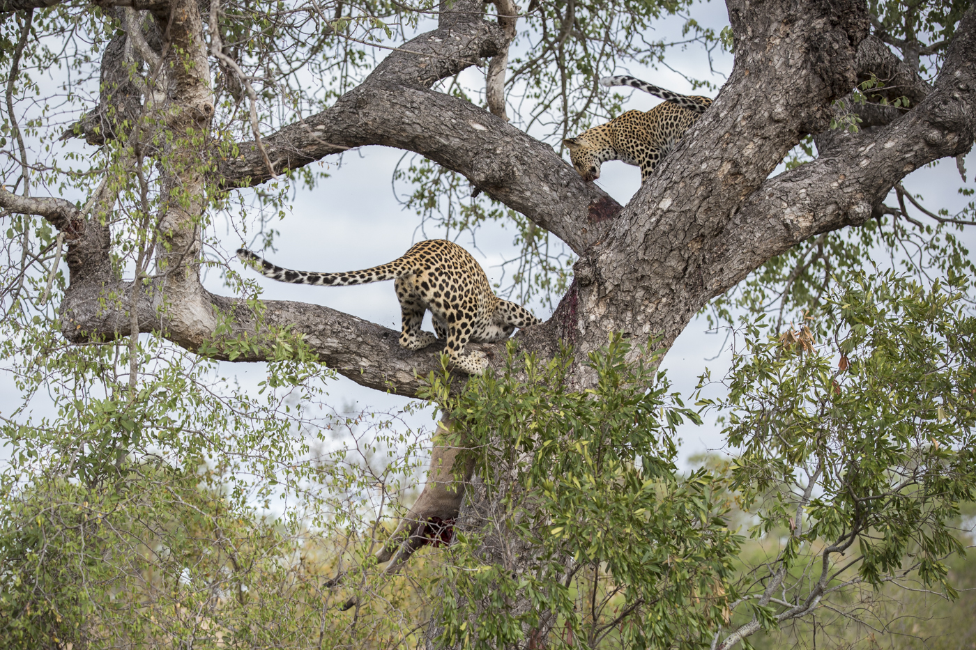 Mashaba Cub Kill Tree Lunge Save