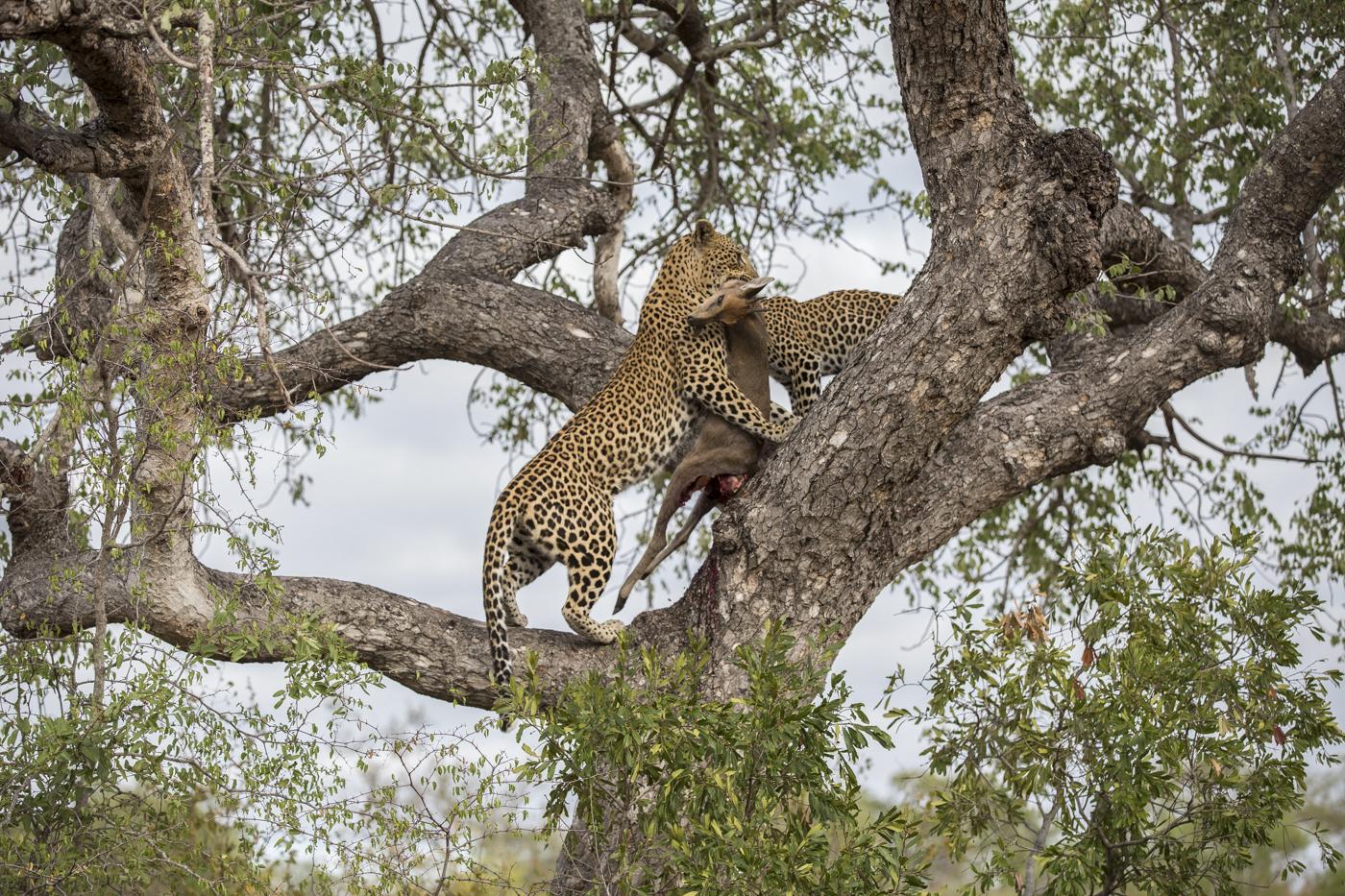 Mashaba Cub Kill Tree Lunge Hoist