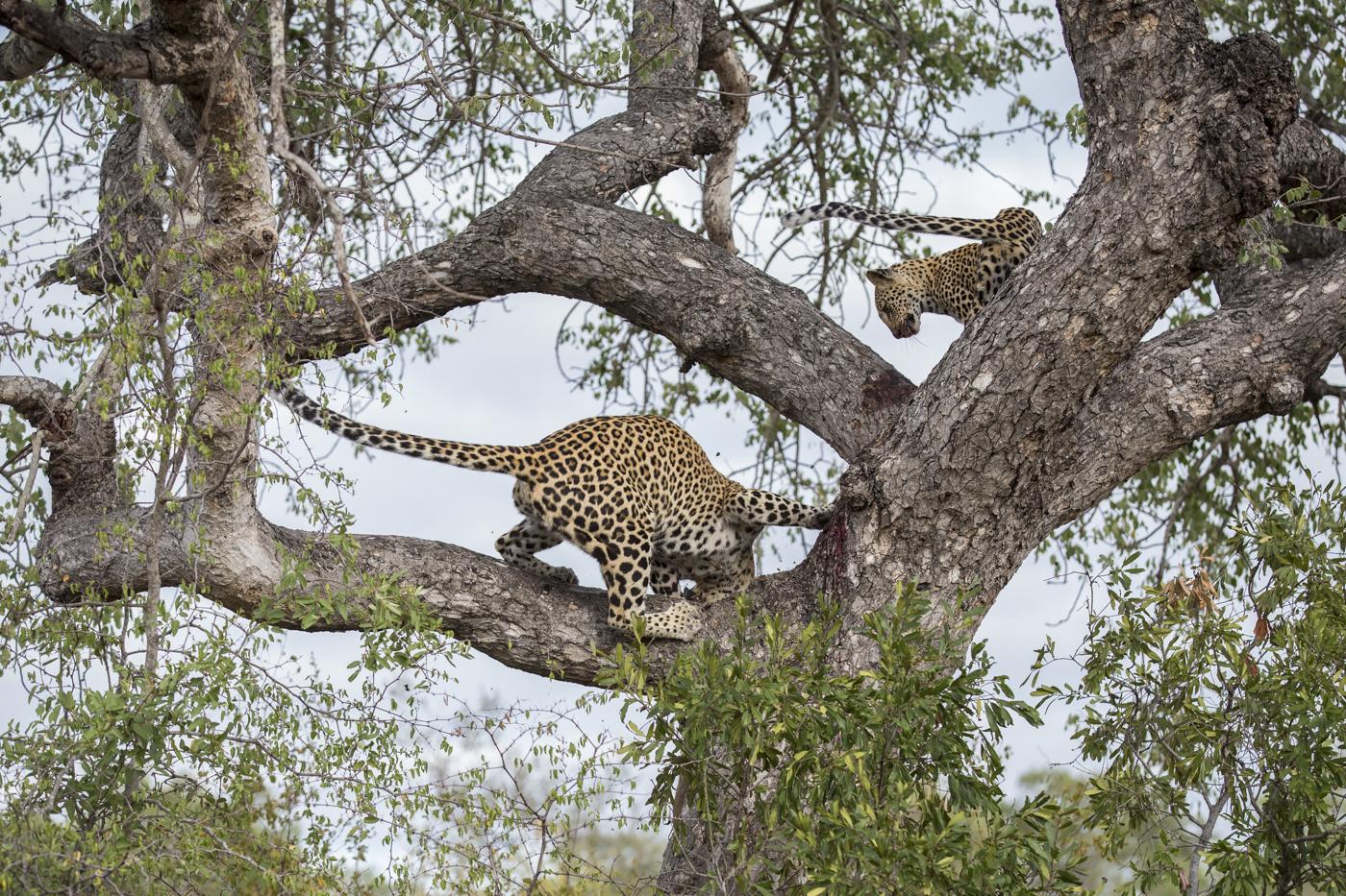 Mashaba Cub Kill Tree Lunge 2