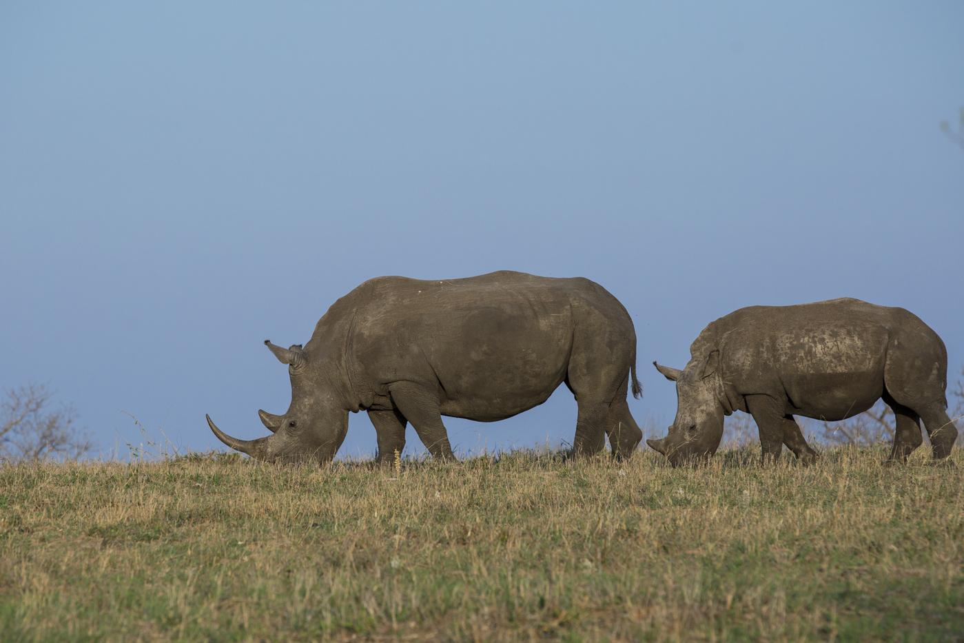 Rhino Skyline