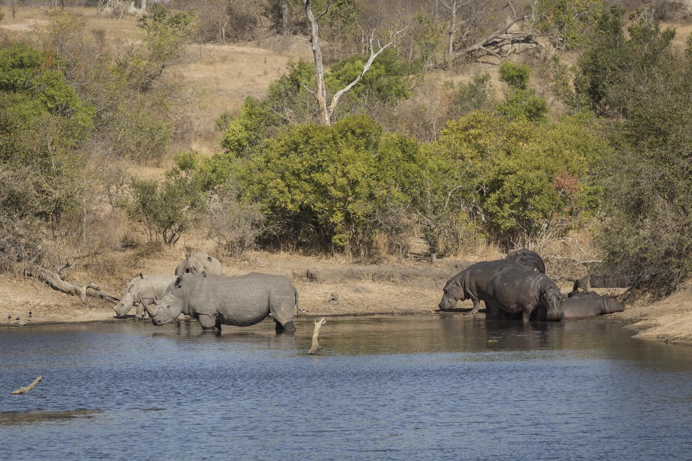 Rhino Hippo