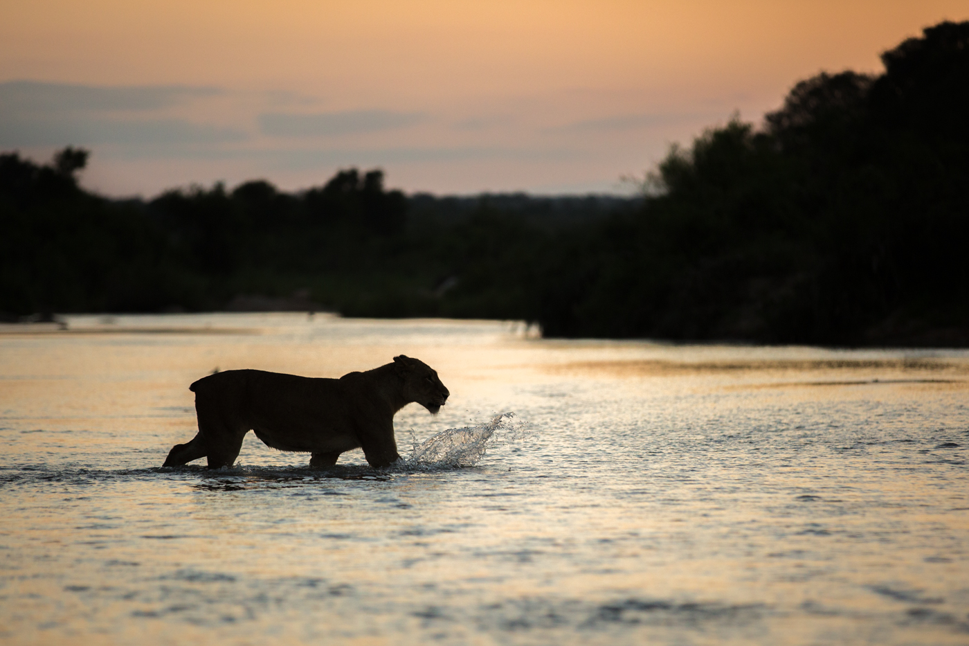 Tailless Lioness cross river