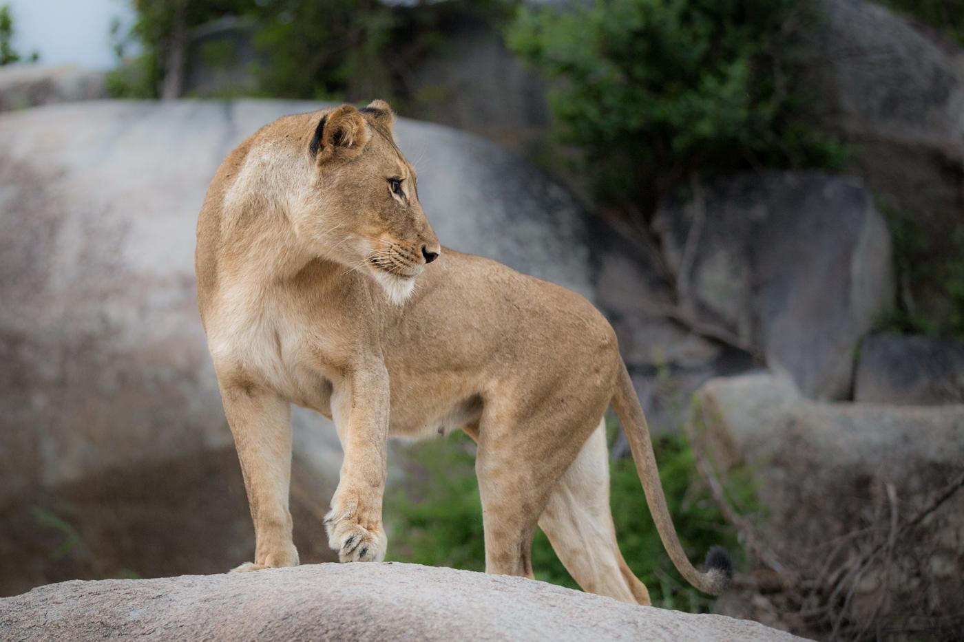 Tsalala Lioness Rock