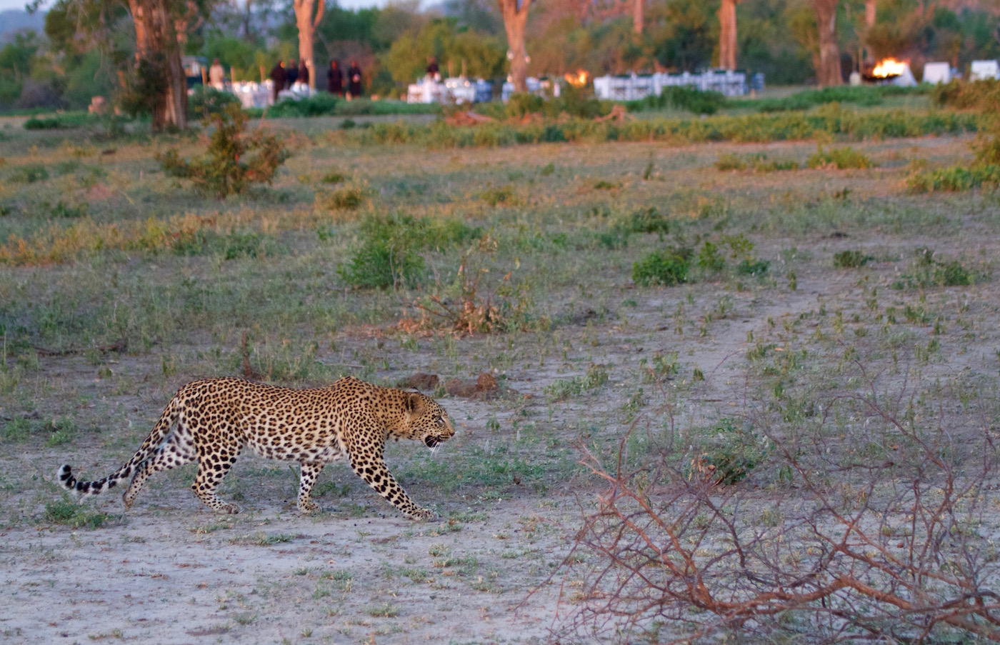 leopard bush dinner