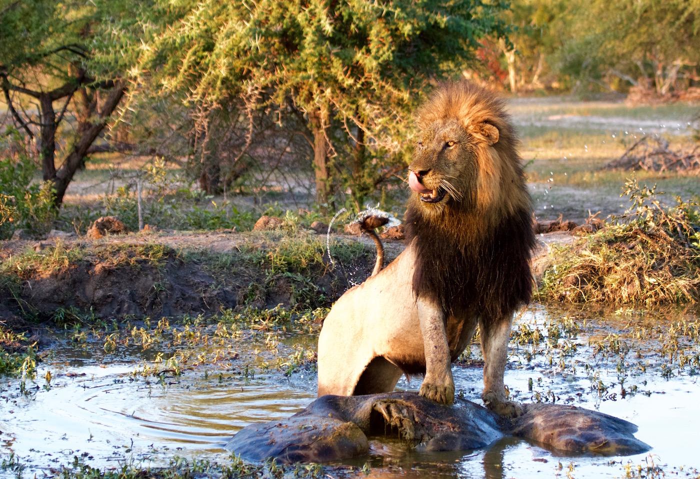 lion giraffe pan water