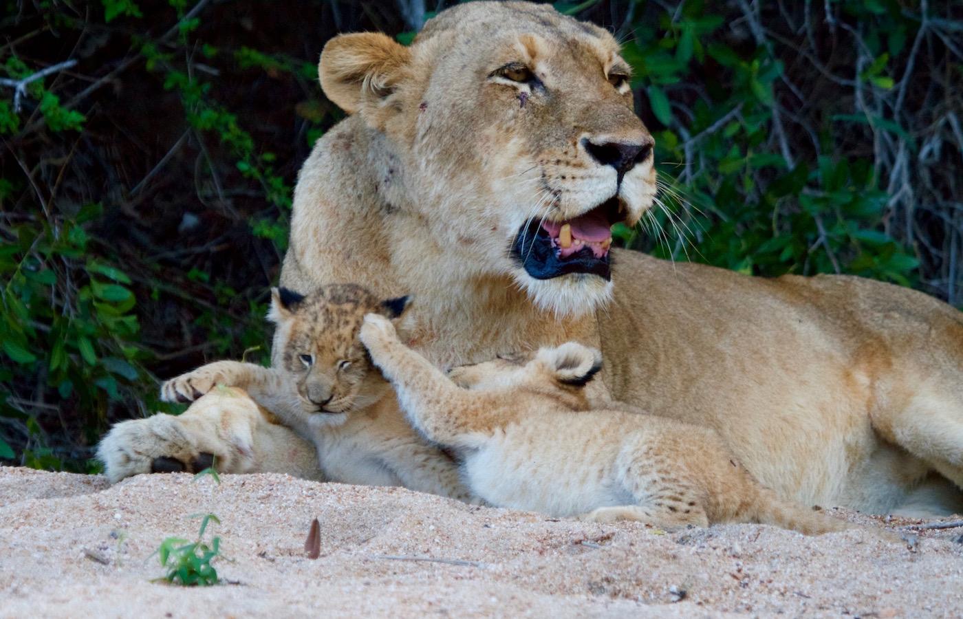 Tsalala Cubs MOther
