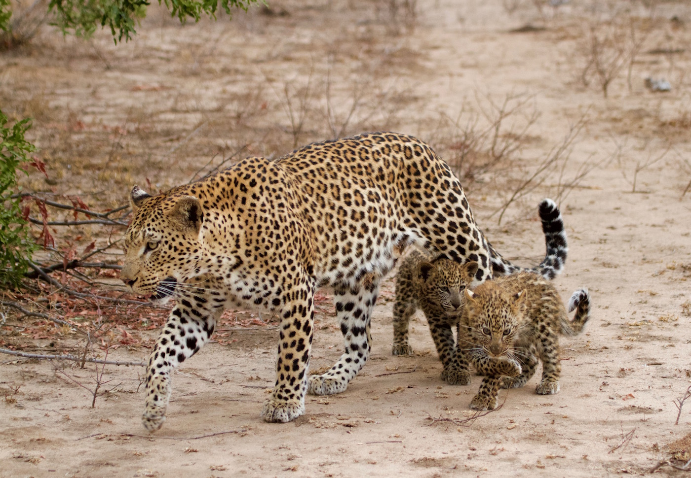 MAshaba cubs